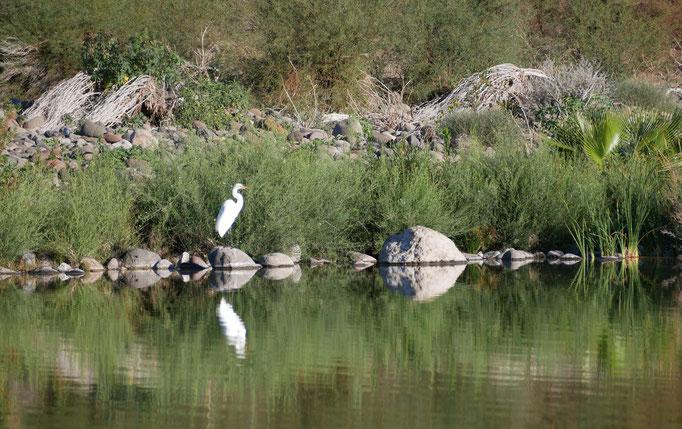 Aigrette ; Région de Comondu ; Basse-Californie ; Mexique. Voyage Maxime Lelièvre