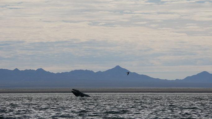 Baleine grise ; Ojo de Liebre ; Basse-Californie ; Mexique. Voyage Maxime Lelièvre