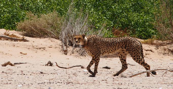 Guépard ; Hoanib ; Namibie. Nature Maxime Lelièvre
