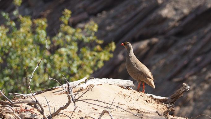 Francolin ; Hoanib ; Namibie. Nature Maxime Lelièvre