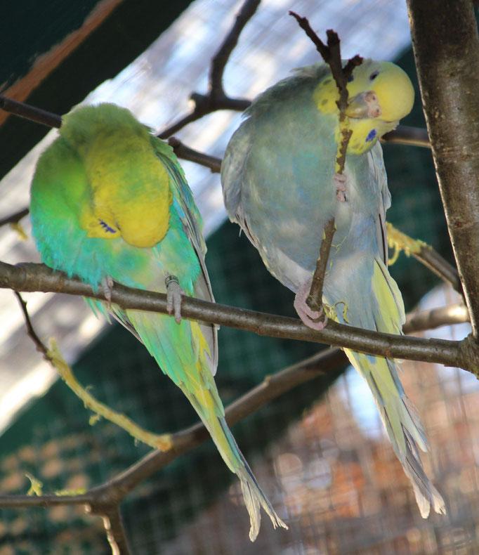 Rechts Mavy genießt die frischen Zweige
