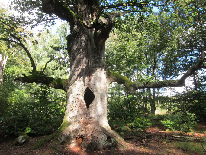 Giant oak tree, Urwald Sababurg