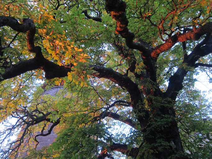 Chestnut tree in sunset light at Trendelburg castle