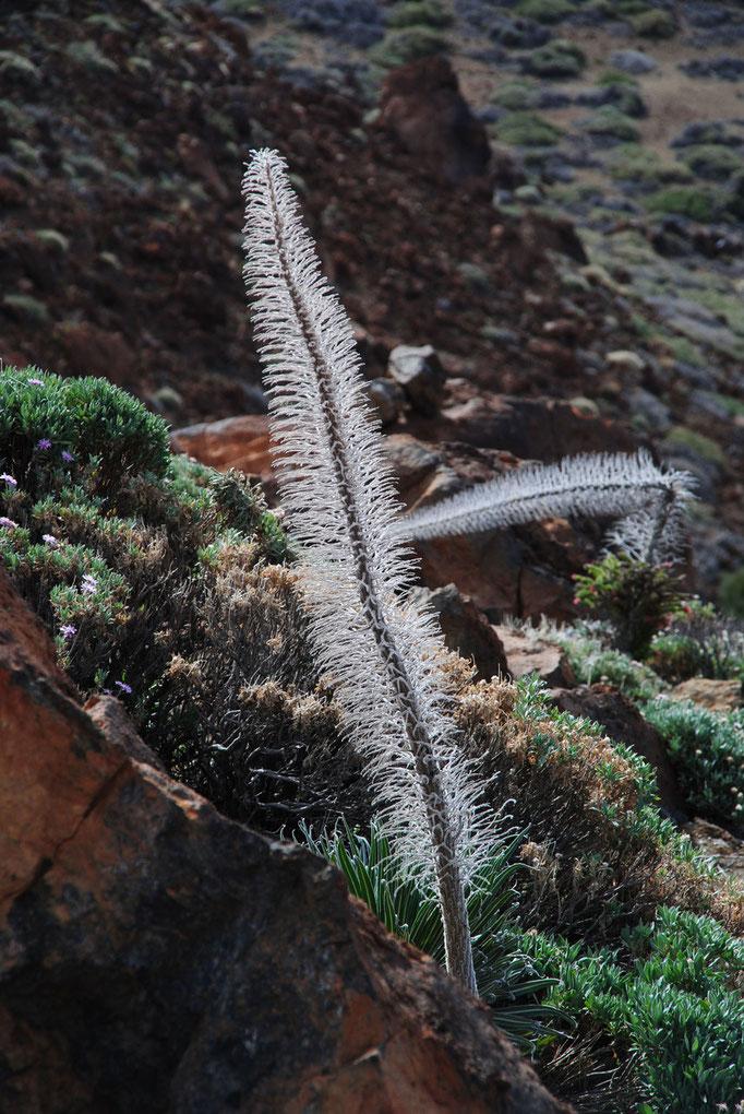 Überlebenskünstler im Teide Nationalpark; hier leider schon ausgeblüht