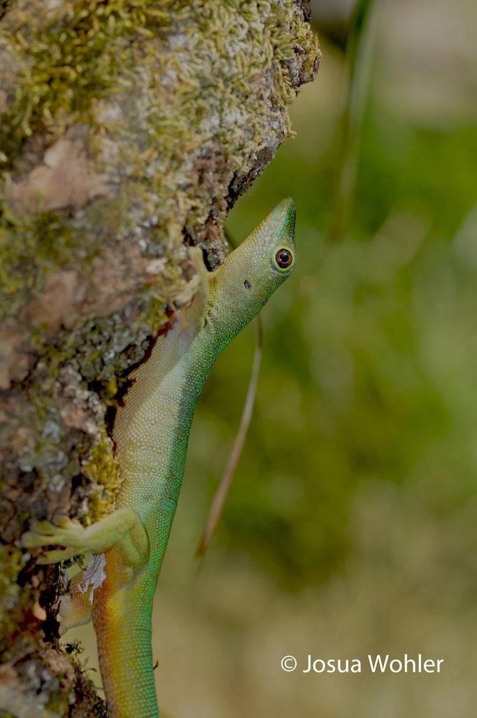 P. s. ladiguensis, Männchen