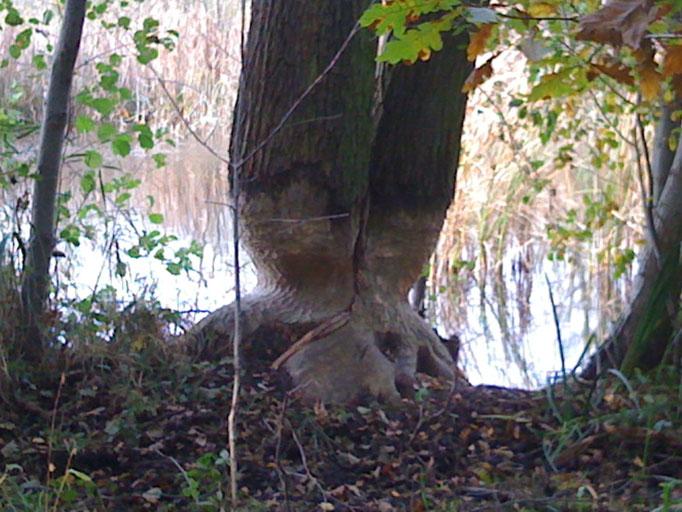 Biberfraß am Baum