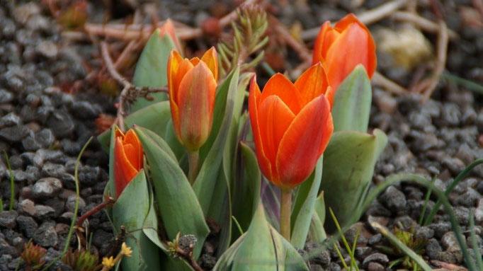 Seerosen-Tulpe - Tulipa kaufmanniana 'Early Harvest'