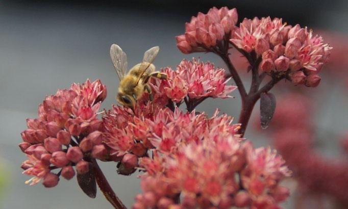 Beliebt bei Bienen: Sedum Hybride 'Red Cauli' (Blaublatt-Fetthenne)