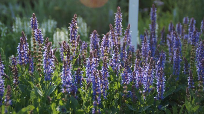 Salvia nemorosa 'Blauhügel' im Gegenlicht