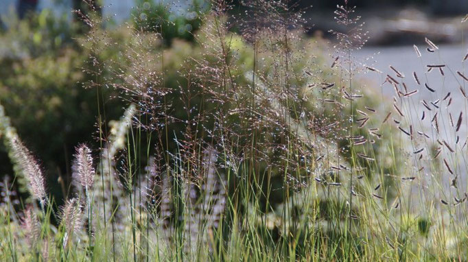 Gräserzauber: Lampenputzergras (Pennisetum alopecuroides 'Hameln'), Tautropfengras (Sporobolus heterolepis 'Cloud') und Moskitogras (Bouteloua gracilis)