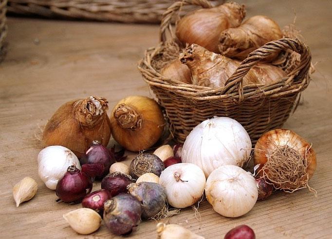 Ein kleiner Ausschnitt aus unserer Zwiebelvielfalt...