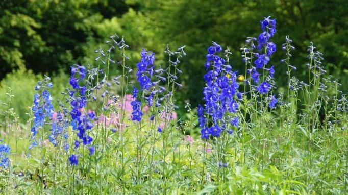Erfrischendes Blau: Rittersporn (Delphinium Belladonna-Hybride 'Atlantis')