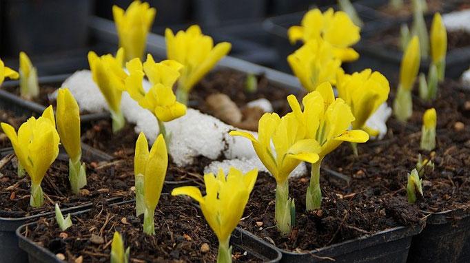 Die ersten Blüten (Iris danfordiae - Gelbe Zwerg-Iris)