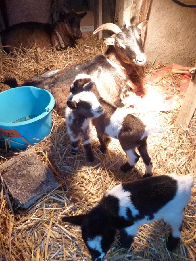 Les 1er et 3 mars, 2 chèvres ont mis bas