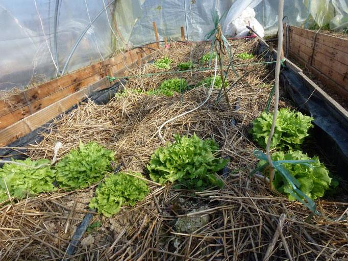 Les salades plantées en décembre