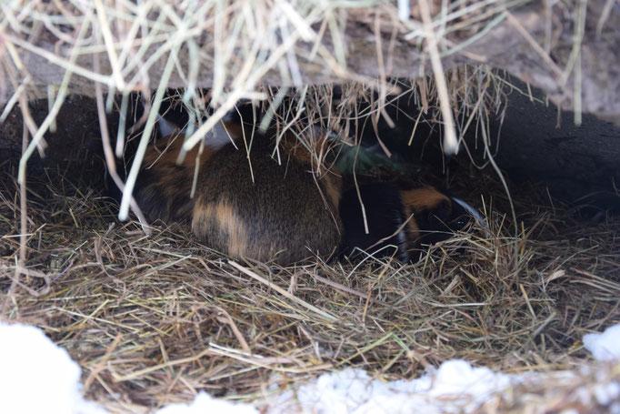 Un bon lit de paille/foin pour protéger nos lapins et cochons d'Inde