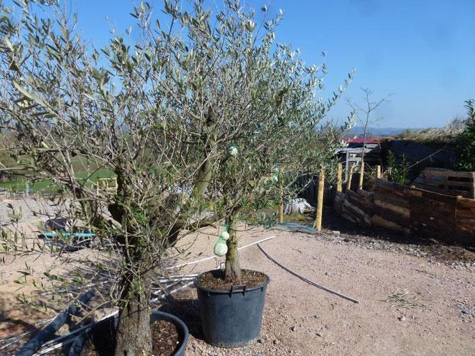 Les oliviers retrouvent l'air libre