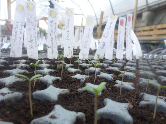Les semis de tomates
