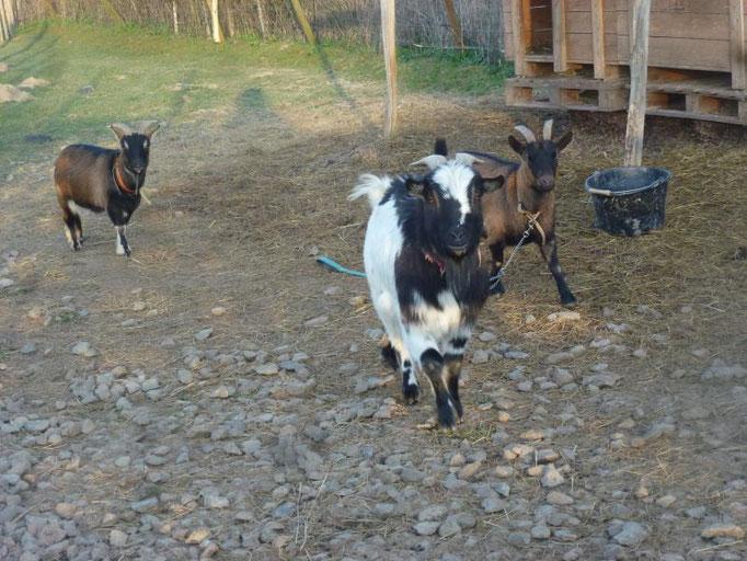 Biquet, Caline et Froufrou