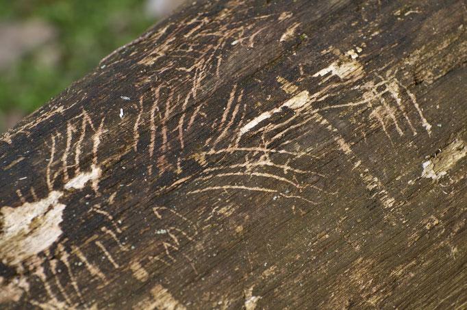 Kratzbaum des Luchses, Waadtländer Jura