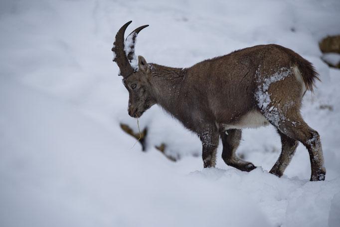 Alpensteinbock (Capra ibex), Tierpark La Garenne, Le Vaud