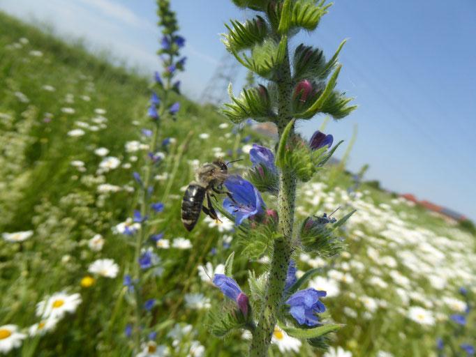 Wildbiene an blauer Acker-Ochsenzunge