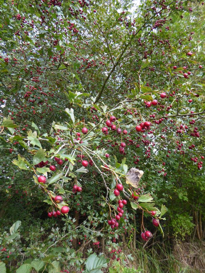 Weißdorn mit Früchten, Germarkungsgrenze Dornheim/Wolfskehlen, näche Scheidgraben