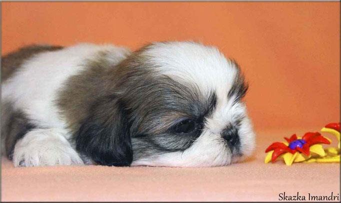 male SKAZKA IMANDRI FEOFAN, 1 months. Available for sale!