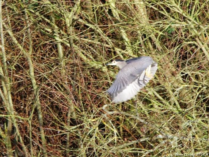Ombre portée. Héron bihoreau, Vallée de l'Eure
