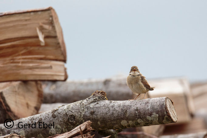 Dorngrasmücke- Jungvogel