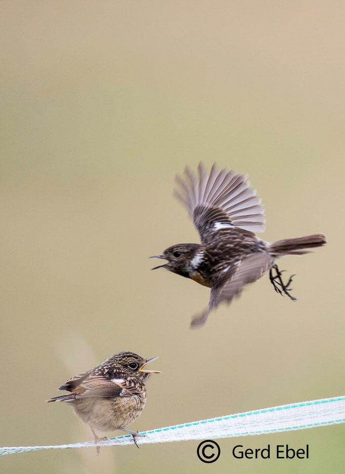 Schwarzkehlchen-w und Jungvogel