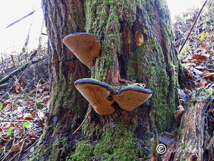 Phellinus Trivialis- Weiden-Feuerschwamm, Fundort: Rieschweiler