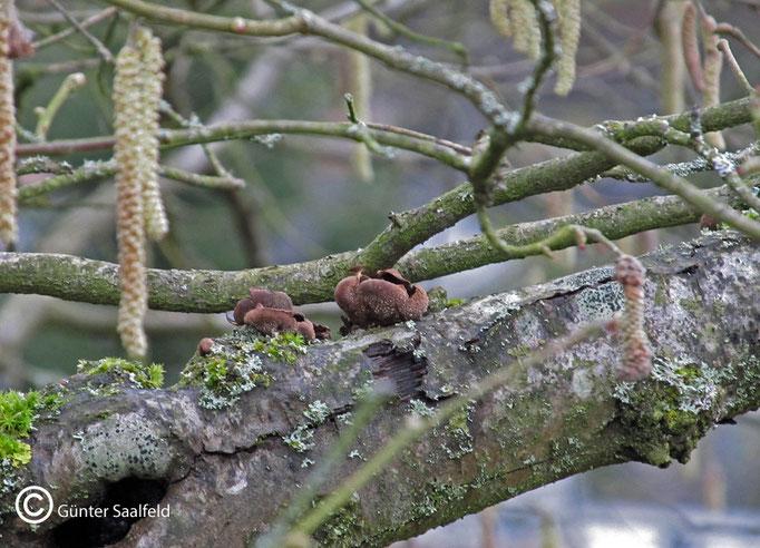Encoelia Furfuracea- Hasel-Kleiebecherling, Fundort: Rieschweiler