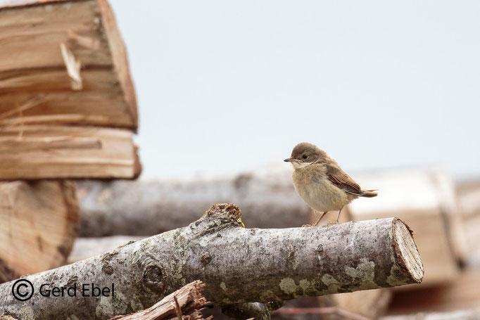 Dorngrasmücke-Jungvogel