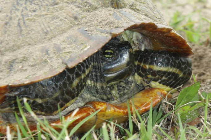 Yellowbelly Slider - Trachemys scripta