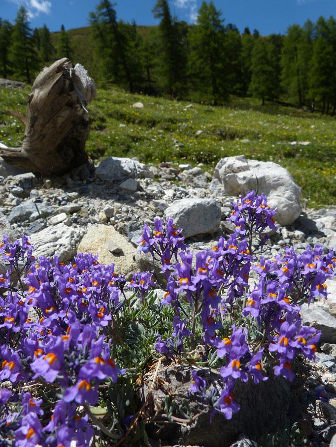 Alpenleeuwenbekje