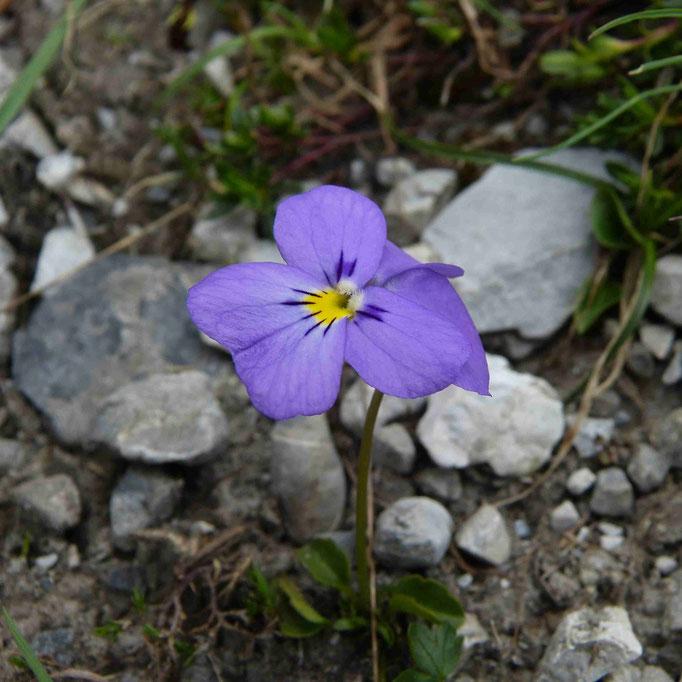 Langsporig viooltje