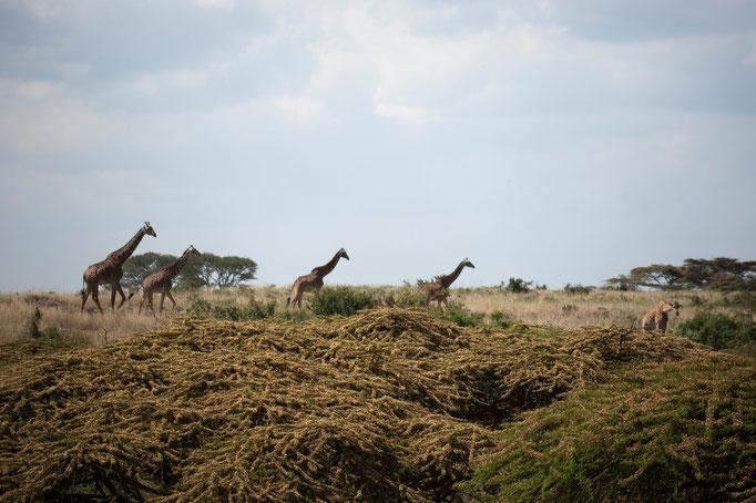 Weitere Giraffen vor der Haustür