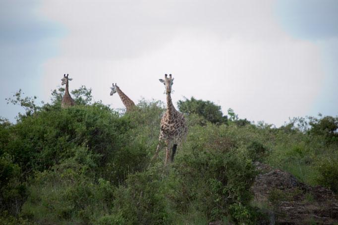 Giraffen vor der Haustür