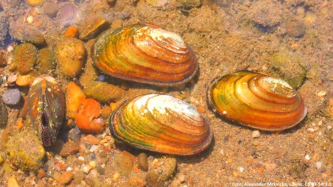 Die Kleine Flussmuschel (Unio crassus) benötigt natürliche und saubere Fließgewässer.