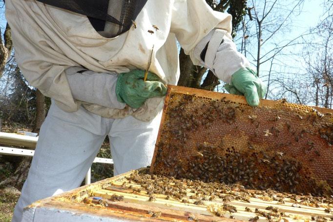 Cadre avec couvain et réserves de miel autour du couvain