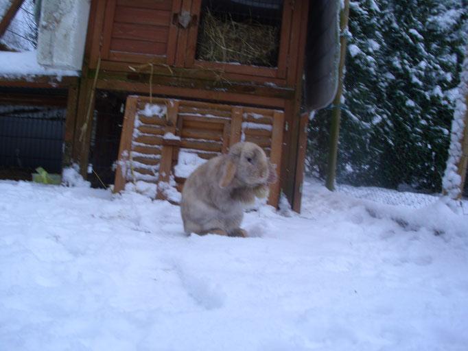 toben im Schnee. Kaninchen entwickeln bei Aussenhaltung ein sehr gutes Winterfell