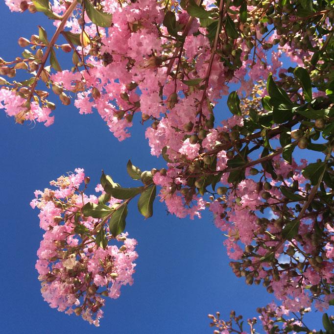 Le lilas des Indes du jardin de La Villa Victoria Auvergne, chambres d'hôtes, est en fleurs.