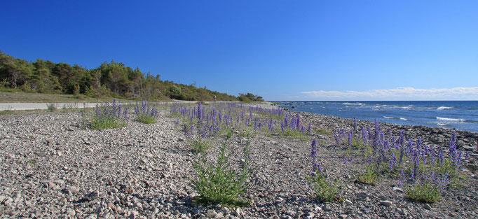 Steinstrand an der Küste von Eksta