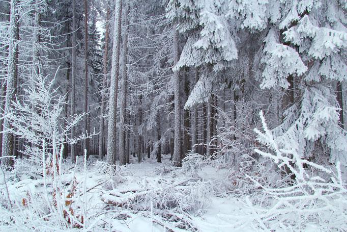 Wald bei Schneeberg/ Erzgebirge