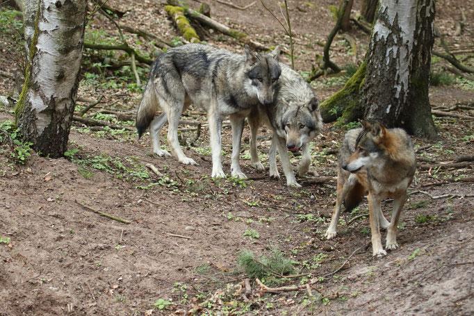 Europäische Wölfe (c)