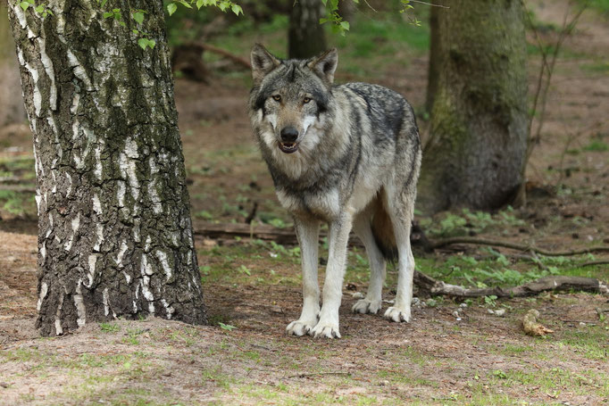 Europäischer Wolf (c)