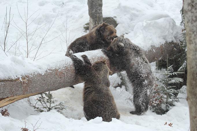 Junge Braunbären (c)