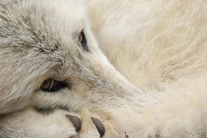 Hudson Bay Wolf (c)