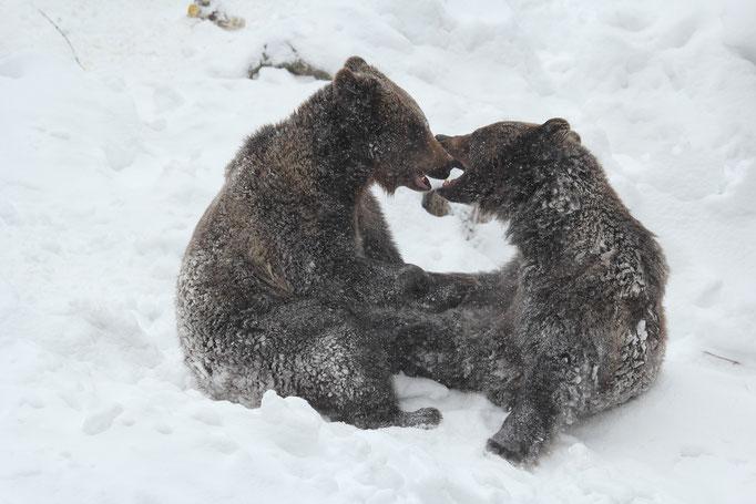 Braunbären (c)